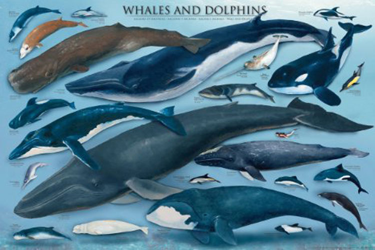Whales & Dolphins Dolphins Jigsaw Puzzle