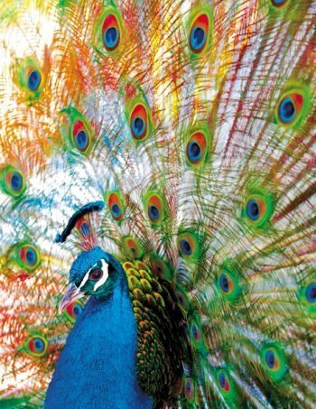 Proud Peacock Birds Jigsaw Puzzle