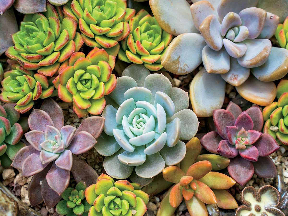 Rosette Flowers Jigsaw Puzzle