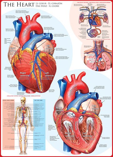 The Heart Anatomy & Biology Jigsaw Puzzle