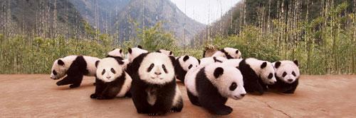 Panda Cubs Bears Jigsaw Puzzle