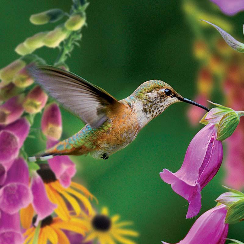 Hummingbird II Birds Jigsaw Puzzle