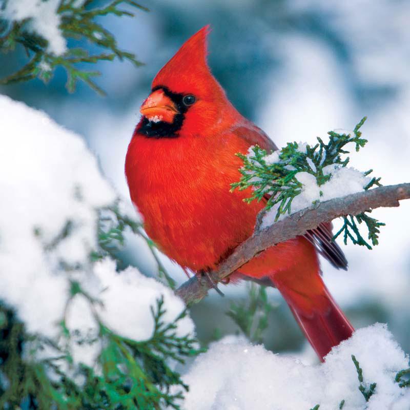 Winter Cardinal Birds Jigsaw Puzzle