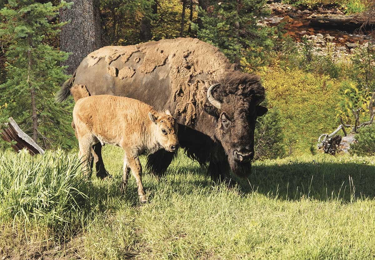 Wood Buffalo Animals Jigsaw Puzzle