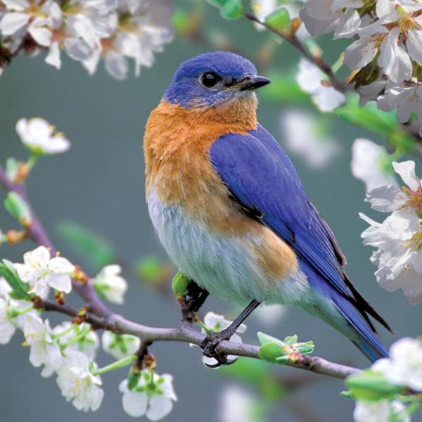 Bluebird Blossoms Birds Jigsaw Puzzle