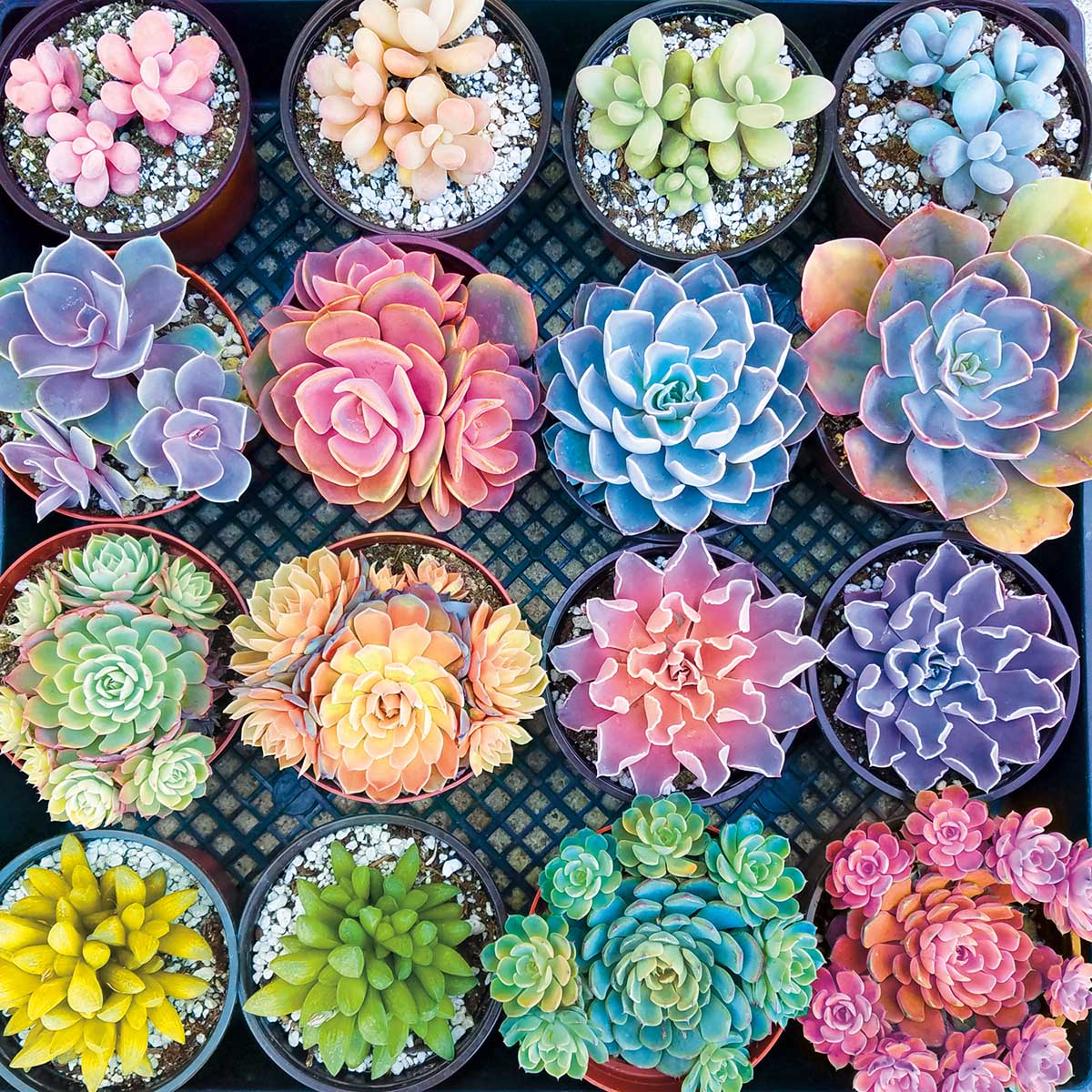 Sweet Succulents Flowers Jigsaw Puzzle