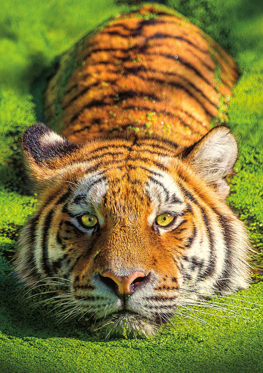 Earthpix - Tiger Eyes Animals Jigsaw Puzzle