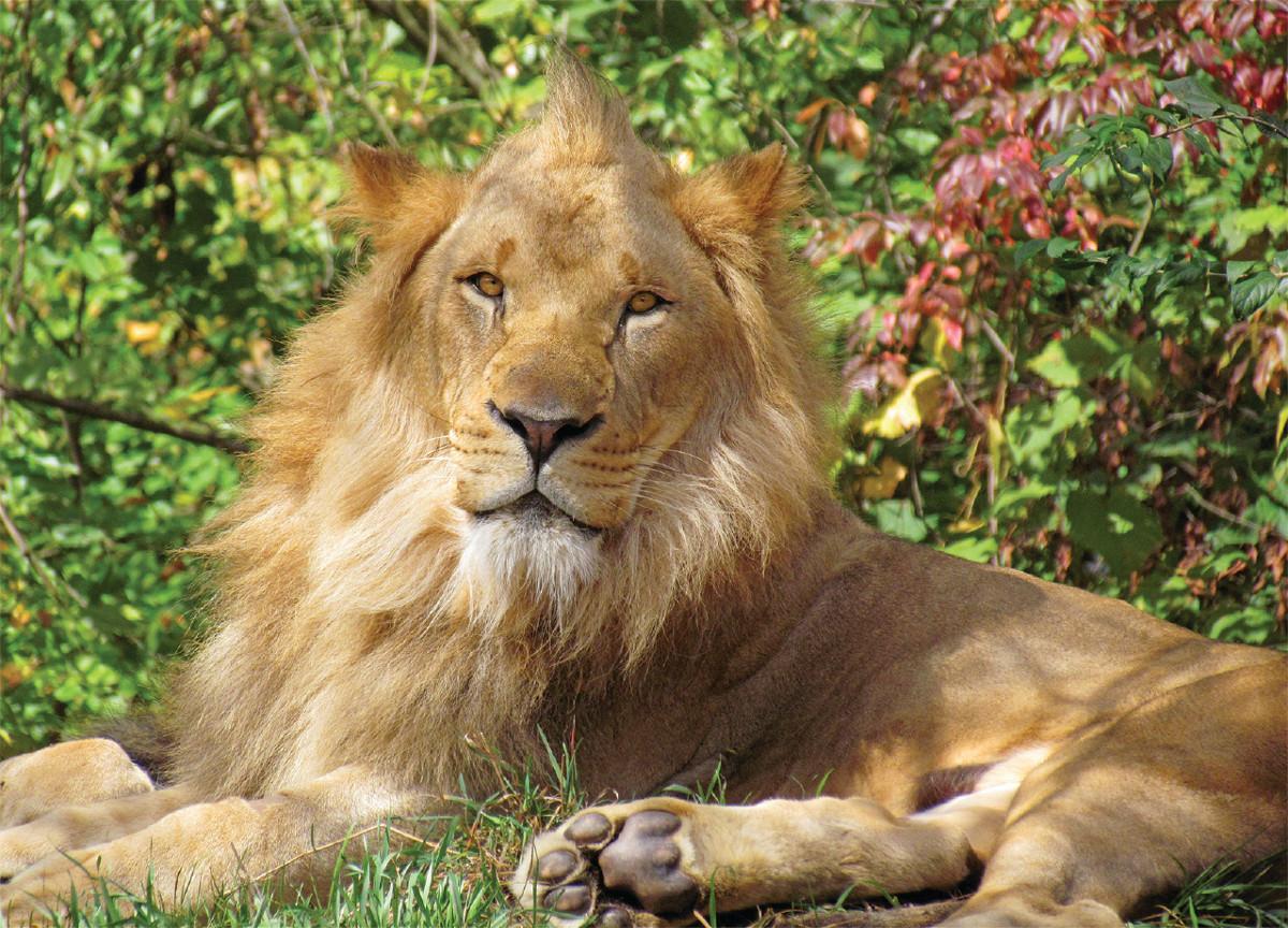 Lion King Wildlife Jigsaw Puzzle
