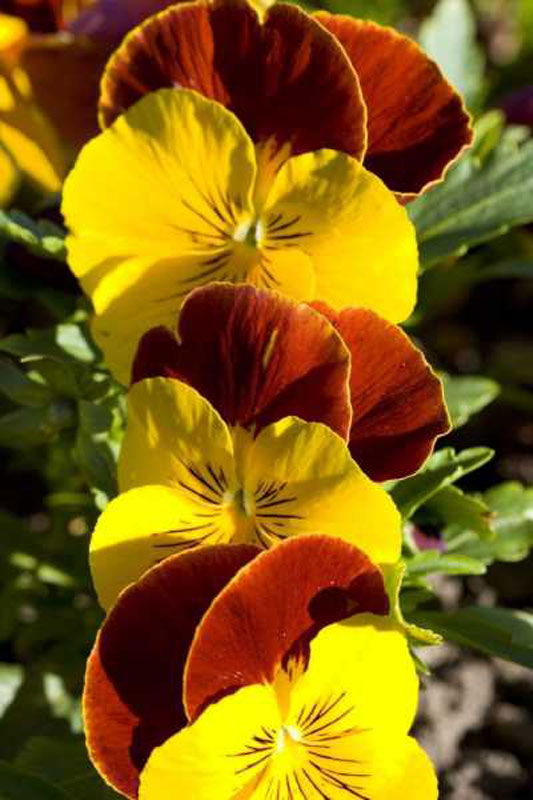 Pansies Flowers Wooden Jigsaw Puzzle