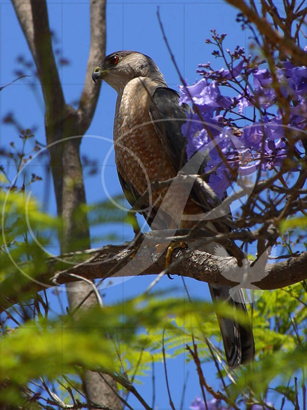 Cooper's Hawk Birds Wooden Jigsaw Puzzle