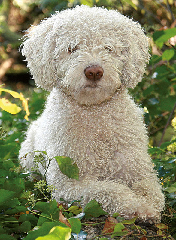 Spanish Water Dog Dogs Jigsaw Puzzle