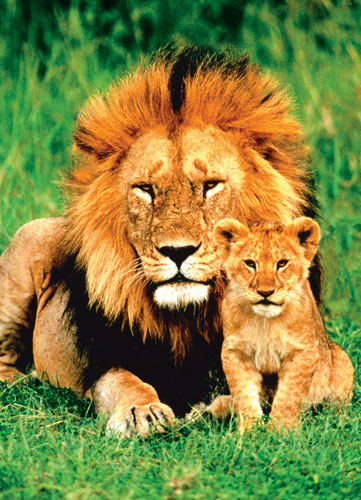 Lion and Baby Baby Animals Jigsaw Puzzle