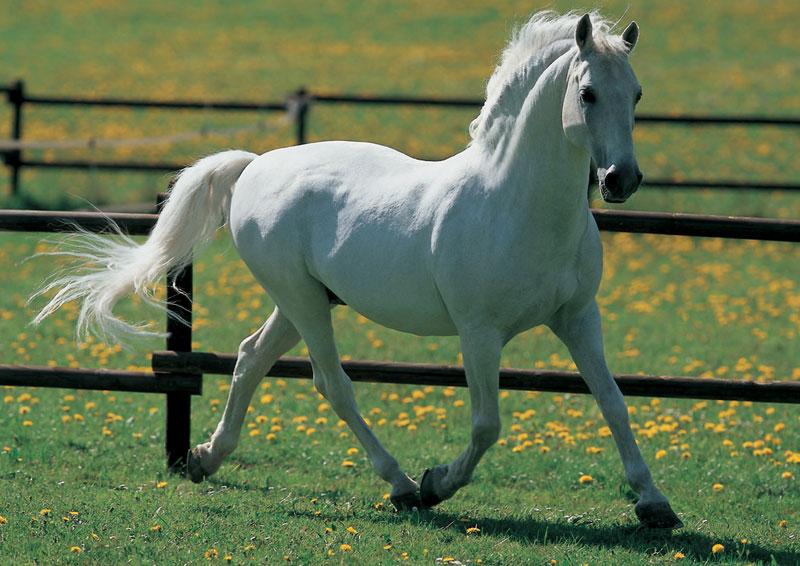 White Horse Horses Jigsaw Puzzle