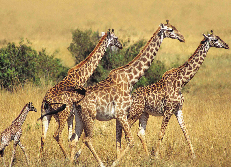 Animal Planet - Giraffes Other Animals Jigsaw Puzzle