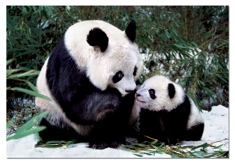 Panda Bears Bears Jigsaw Puzzle