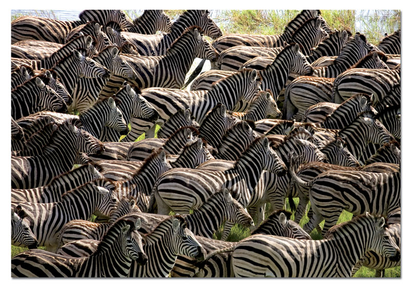 Herd of Zebras Other Animals Jigsaw Puzzle
