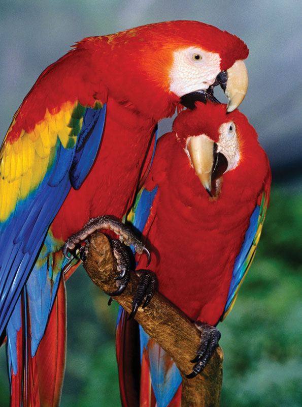 Animal Planet - Scarlet Macaw Birds Jigsaw Puzzle
