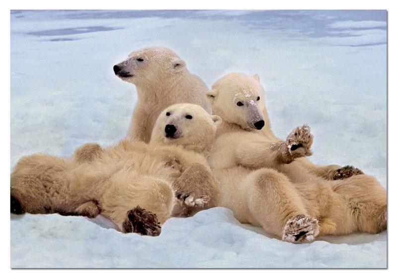 Polar Bears Bears Jigsaw Puzzle