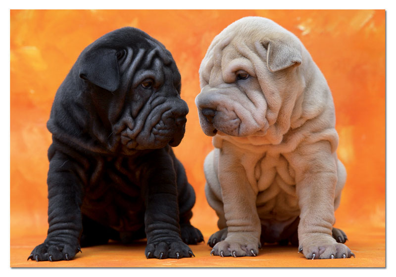 Sweet Puppies Dogs Jigsaw Puzzle