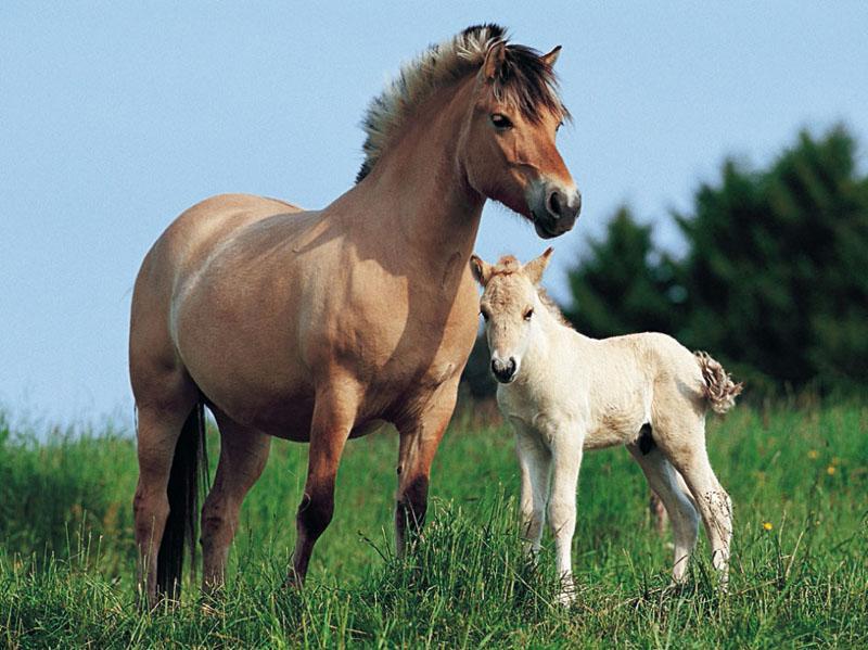 Norwegian Mare & Foal Horses Jigsaw Puzzle