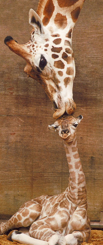 Animals Panoramic - First Kiss Other Animals Children's Puzzles
