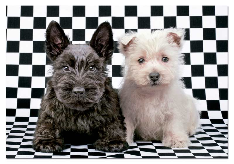 Checked Terriers Dogs Jigsaw Puzzle