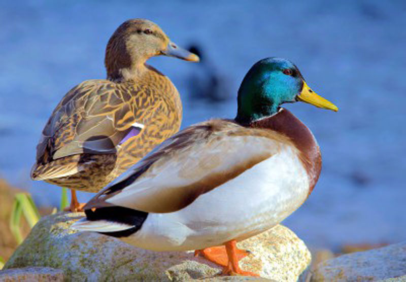 Ducks in Plymouth Birds Wooden Jigsaw Puzzle