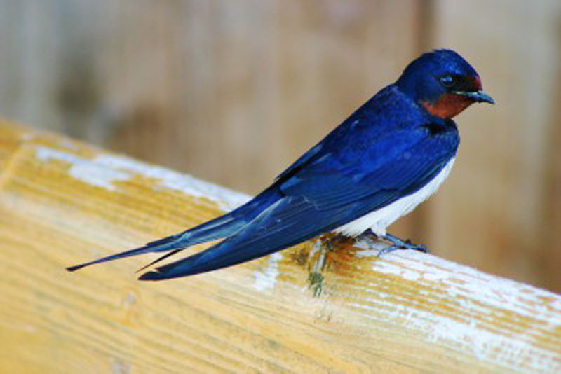 Barn Swallow Birds Wooden Jigsaw Puzzle