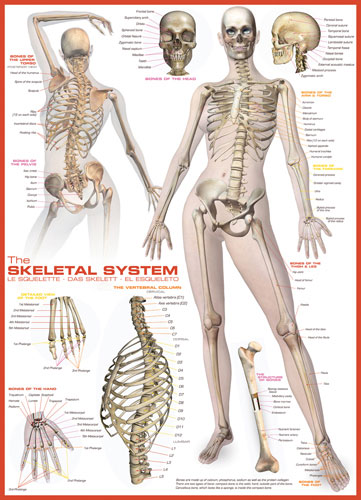 The Skeletal System Anatomy & Biology Jigsaw Puzzle