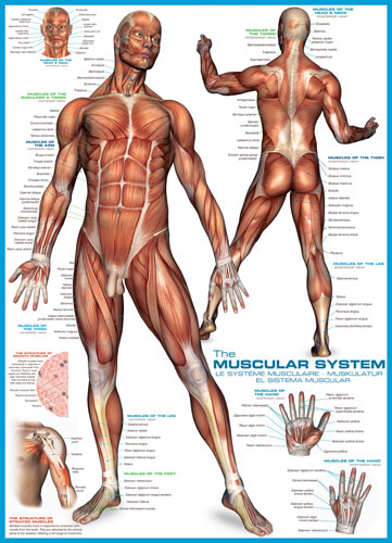 The Muscular System Jigsaw Puzzle | PuzzleWarehouse.com