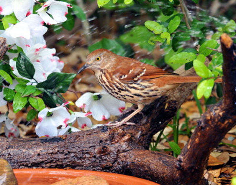 Brown Thrasher Bathing Birds Wooden Jigsaw Puzzle