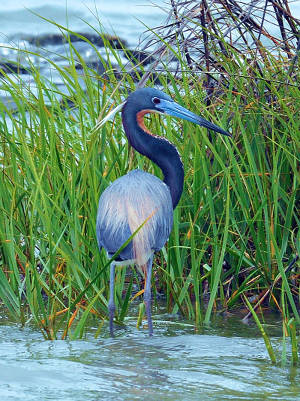 Tricolored Heron Birds Wooden Jigsaw Puzzle