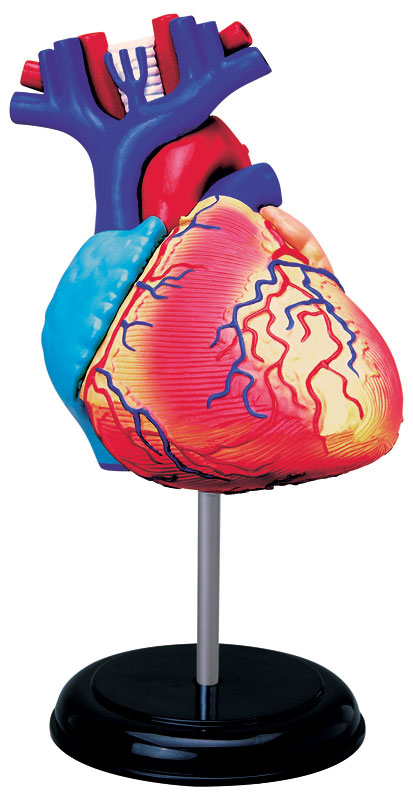 4D-Human - Heart Anatomy Jigsaw Puzzle | PuzzleWarehouse.com
