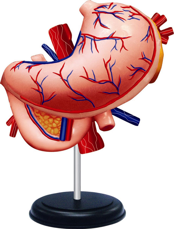 4d Human Internal Organs Anatomy Jigsaw Puzzle Puzzlewarehouse