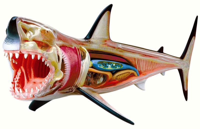 4D-Vision Great White Shark Anatomy Jigsaw Puzzle | PuzzleWarehouse.com