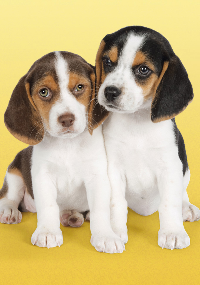 Nice Beagles Dogs Jigsaw Puzzle