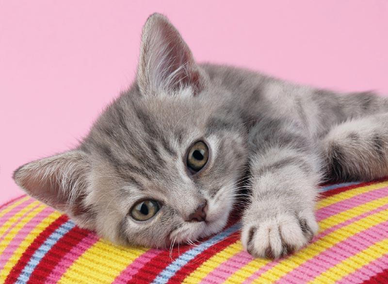 Grey Kitten Cats Jigsaw Puzzle