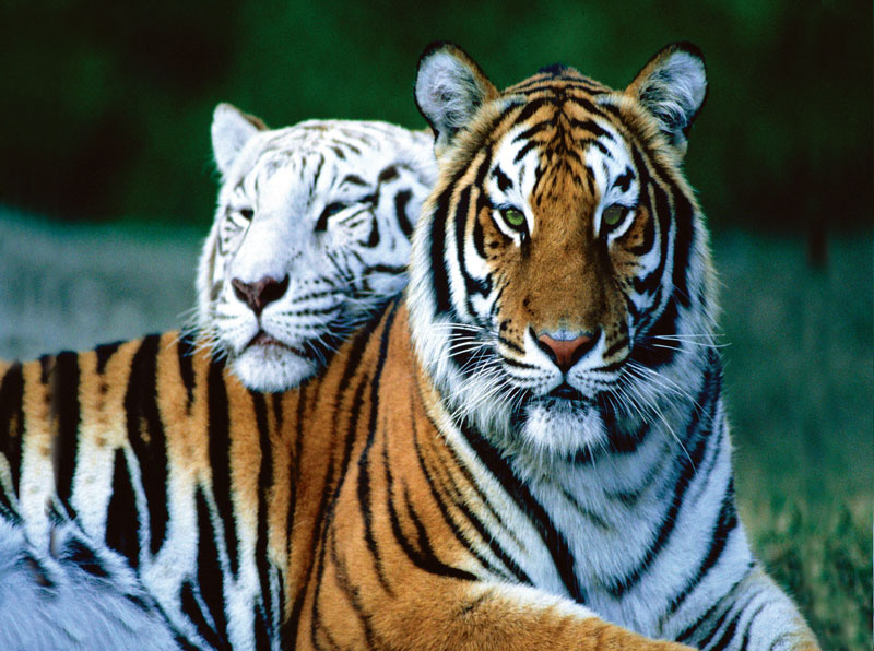 Masters of Photography Space Savers - Bengal Tigers Jungle Animals Jigsaw Puzzle