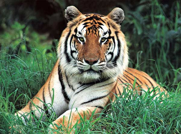 Masters of Photography Space Savers - Tiger's Gaze Tigers Jigsaw Puzzle