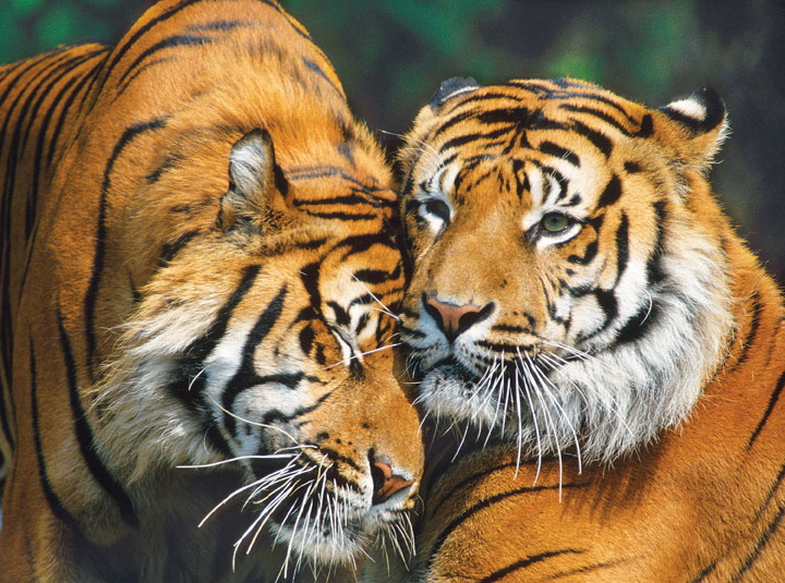 Masters of Photography Space Savers - Snuggle Time Tigers Jigsaw Puzzle