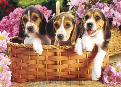 Just Beagles Dogs Jigsaw Puzzle