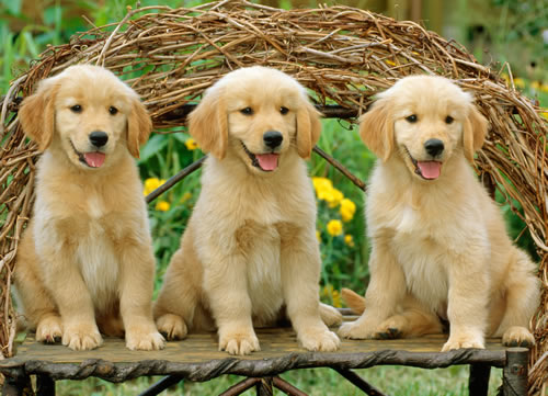 Just Goldens Dogs Jigsaw Puzzle