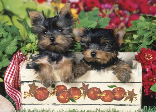 Just Yorkies Dogs Jigsaw Puzzle
