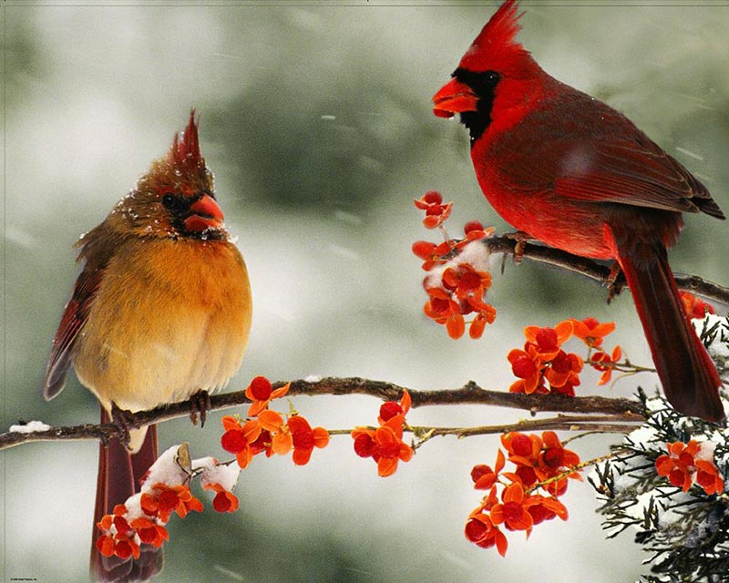 Cardinal Couple Birds Jigsaw Puzzle