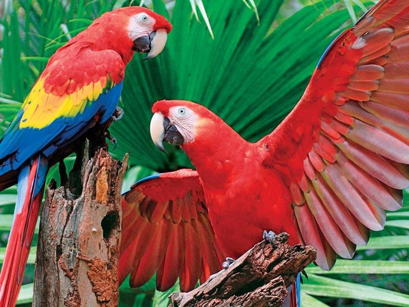 Scarlet Macaw Birds Children's Puzzles