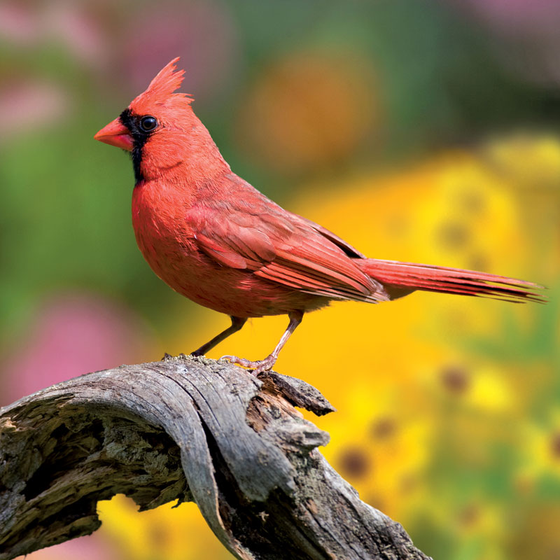Summer Cardinal Jigsaw Puzzle Puzzlewarehouse Com
