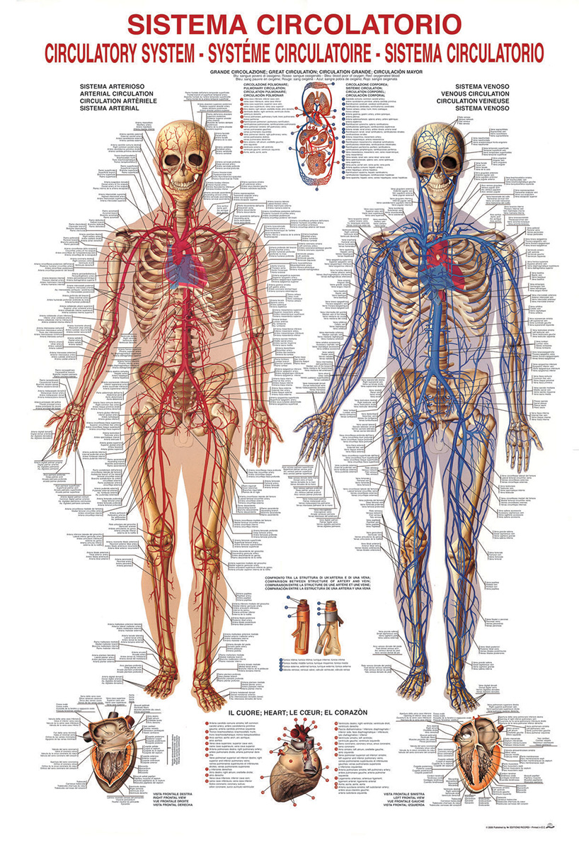 Circulatory System Jigsaw Puzzle | PuzzleWarehouse.com