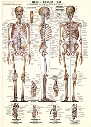the skeletal system jigsaw puzzle | puzzlewarehouse, Skeleton