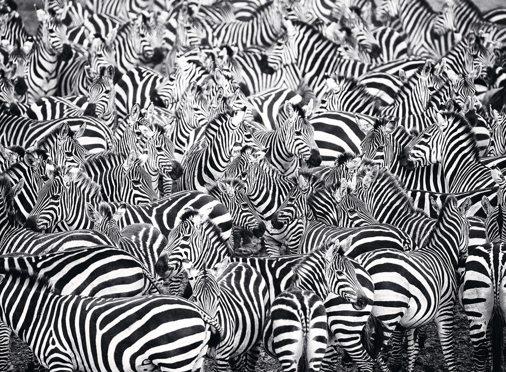 Zebra Challenge Animals Jigsaw Puzzle