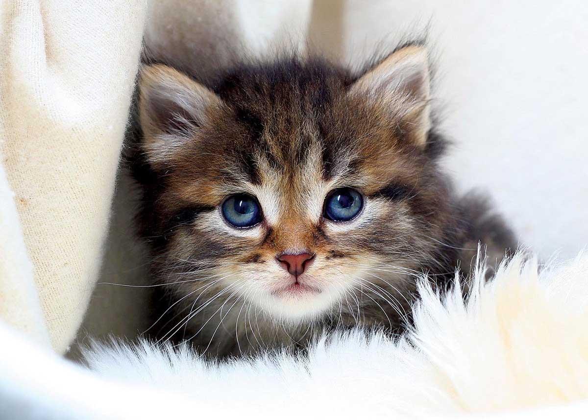 Little Kitten Cats Jigsaw Puzzle